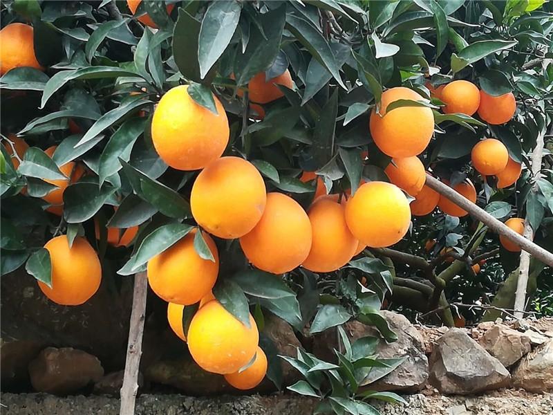 柑橘肥效实验