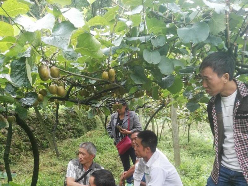 种植大户视察公司猕猴桃基地